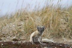 Ung arktisk räv, VulpesLagopus, i nedgångfärger som fångas i handlingen av att skrapa Royaltyfri Foto