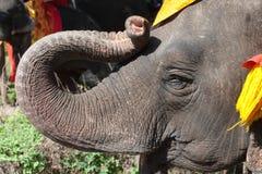 Ung asiatisk elefant. Arkivbild