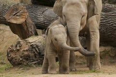 Ung asiatisk elefant Arkivbild