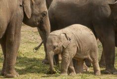 Ung asiatisk elefant Royaltyfria Foton
