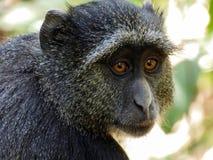 Ung baboon Arkivbild