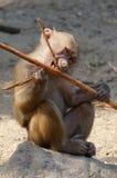 Ung baboon Royaltyfri Bild