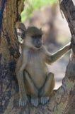 Ung baboon, amboselinationalpark, kenya Royaltyfri Foto