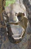 Ung baboon, amboselinationalpark, kenya Royaltyfria Bilder