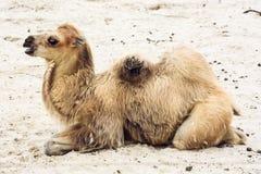 Ung Bactrian kamel Royaltyfri Fotografi