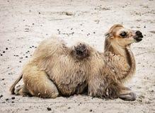 Ung Bactrian kamel - Camelusbactrianus Arkivfoton