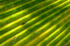 Ung bakgrund för kokosnötbladtextur Royaltyfria Foton