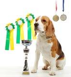 Ung beaglehund med medaljer och mästarekoppen Arkivfoto