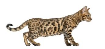 Ung Bengal katt (5 gamla månader) som isoleras fotografering för bildbyråer