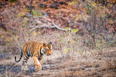 Ung Bengal tiger i naturlig livsmiljö Royaltyfria Bilder