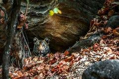 Ung Bengal tiger i naturlig livsmiljö Den Bengal (indier) tigerpantheraen tigris tigris Arkivbild