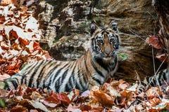 Ung Bengal tiger i naturlig livsmiljö Den Bengal (indier) tigerpantheraen tigris tigris Arkivfoto