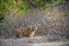 Ung Bengal tiger i naturlig livsmiljö Den Bengal (indier) tigerpantheraen tigris tigris Arkivbilder