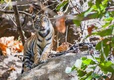Ung Bengal tiger i naturlig livsmiljö Den Bengal (indier) tigerpantheraen tigris tigris Arkivfoton