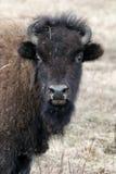 Ung bison royaltyfri foto