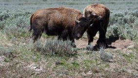 Ung Bison Bulls stridighet i Hayden Valley i den Yellowstone nationalparken USA fotografering för bildbyråer