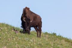 Ung bison på en kulle arkivbilder