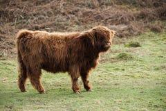 ung bison som betar i bygdnaturen royaltyfria bilder