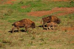 Ung bison som omges av vuxna människor som går till och med fältet fotografering för bildbyråer