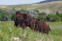 Ung bison två på en kulle royaltyfri foto