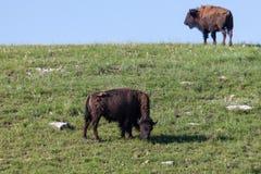 Ung bison två på en kulle royaltyfria bilder