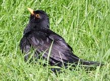 Ung Blackbird Royaltyfria Foton
