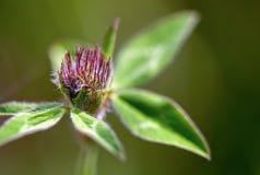 Ung blomma och sidor för röd växt av släktet Trifolium royaltyfri fotografi