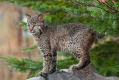 Ung Bobcat ((lodjurrufusen) står utmanande Arkivbilder