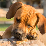 Ung Boerboel hund med mellanmålet Royaltyfri Bild