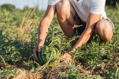 Ung bonde som kontrollerar hans vattenmelonfält på den organiska ecolantgården royaltyfria foton