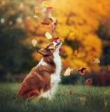 Ung border collie hund som spelar med sidor i höst arkivbild