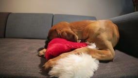 Ung boxarehund med den santa hatten som ner ligger på soffan lager videofilmer