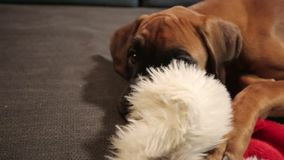 Ung boxarehund med julhatten som ner ligger på soffan arkivfilmer