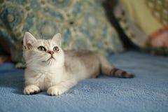 Ung brittisk kattunge Arkivbilder
