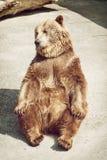 Ung brunbjörn för sammanträde (Ursusarctosarctos) Arkivfoto