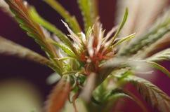 Ung cannabisblomma Fotografering för Bildbyråer