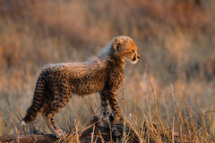 Ung cheetahgröngöling Arkivfoton