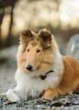 Ung colliehund Royaltyfri Foto