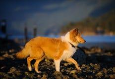Ung colliehund som går på den steniga stranden Royaltyfri Foto