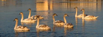 Ung Cygnusolor för stumma svanar i floden på solnedgången fotografering för bildbyråer
