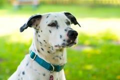 Ung Dalmatian hund Royaltyfri Foto