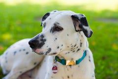 Ung Dalmatian hund Fotografering för Bildbyråer