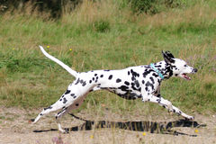 Ung dalmatian spring i fält Arkivfoton