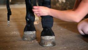 Ung dam som förbinder benet för häst` s closeupen av en svart förbinder på ett fullblods- svart ben för häst` s Hästben skyddas stock video