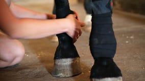 Ung dam som förbinder benet för häst` s closeupen av en svart förbinder på ett fullblods- svart ben för häst` s Hästben skyddas lager videofilmer