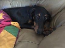 Ung doberman på soffan royaltyfri foto