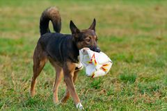 Ung driftig halvblods- hund Harmoniskt förhållande med hunden: utbildning och utbildning royaltyfria foton