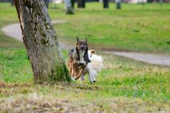 Ung driftig halvblods- hund Harmoniskt förhållande med hunden: utbildning och utbildning Hundkapplöpninglek med de arkivfoton