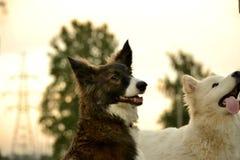 Ung driftig hund på en gå Valputbildning, cynology, intensiv utbildning av ung hundkapplöpning dogs att gå för natur royaltyfri fotografi