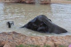 Ung elefant Royaltyfri Bild